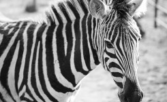 Zebra Black & White Portrait