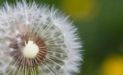 Half-Naked Flower Blowball